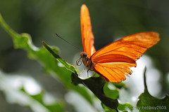 Schmetterlinge (Lepidoptera) (hellboy2503) Tags: portrait orange flower macro nature animal canon butterfly photography photo natur images portrt 7d getty grn creature blume makro tier gettyimages jrg schmetterling kreatur nektar 100400 fhler thegalaxy gettyimagescallforartists gettyimagesartistpicks hellboy2503 rememberthatmomentlevel4 rememberthatmomentlevel1 rememberthatmomentlevel2 rememberthatmomentlevel3 rememberthatmomentlevel5