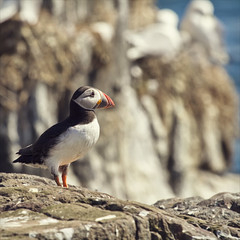 daydreaming (Black Cat Photos) Tags: uk sea england cliff bird nature beautiful face blackcat lost island photography coast photo europe dof bokeh wildlife gull sunny m dreaming edge thinking puffin serene farne deepinthought farneislands farn daydreaming kittiwake fraterculaarctica wistfull lookingouttosea farnislands worldofyourown blackcatphotos
