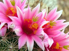 Flowers on a Pincushion (ScenicSW) Tags: pink arizona cactus flower macro nikon colorful vivid pincushion sonorandesert fishhook desertflower tucsonarizona cactusflower desertsouthwest yaqui cactusbloom desertblooms desertcactus awesomeblossoms scenicsw virtualjourney
