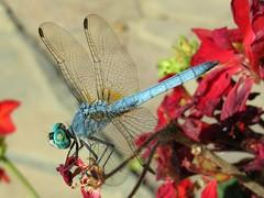 18.07.2012 (200/366) Blue Beauty (Helen Orozco) Tags: blue dragonfly odonata