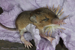 Baby Field mouse 1 (derena_d.) Tags: baby nature field mouse rodent wildlife clematis n british garde fieldmouse thechallengegame
