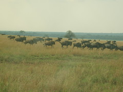 Group of Wildebeest (Real Africa) Tags: africa wild tanzania kenya running safari herd grazing wildebeest wildebeestmigration safarianimal migrationmasimara