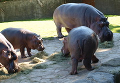 Hippo family (Takulover) Tags: berlin father daughters ede hippo hippopotamus nele nilpferd lotty flusspferd zooberlin witha