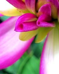 fresh petals (paulette@k) Tags: new nature floral garden season spring fresh growth hennys hennysgardens