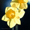 Daffodil Study (s0ulsurfing) Tags: lighting flowers light sunlight blur flower color colour art nature beautiful beauty yellow closeup backlight canon 50mm march petals spring flora focus soft glow colours dof angle natural bokeh pov girly feminine pastel fresh amarillo lumiere amaryllis daffodil 7d stems bloom flowering botanic below backlit colourful blooms elegant delicate pure daffodils wight hardy 2012 narcissus f12 purity yellowish springflowering ffff00 s0ulsurfing canon7d 2552550
