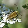 Lepturobosca chrysocoma (Cosmosalia chrysocoma) Beetle on Yarrow (annkelliott) Tags: plant canada macro nature closeup insect beetle insects alberta yarrow wildflower coleoptera cerambycidae longhornedbeetle beautyinnature lepturini chrysomeloidea lepturoboscachrysocoma nwofcalgary nwofcochrane cosmosaliachrysocoma cosmosalia lepturinaeflowerlonghorns offgrandvalleyrd