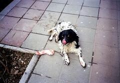 (Nemanja Kneevi) Tags: street dog color film serbia pas srbija boja kolor koska ulica nemanja arandjelovac aorist knezevic nemanjaknezevic nkrs