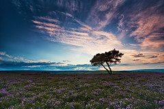 North Yorkshire Moors Lone Tree - Explored 27/08/12 (mark_mullen) Tags: uk sunset england english night clouds landscape dusk heather explore whitby bigsky colourful northyorkshire lonetree moorland heathland canon1740f4 egtonbridge northyorkshiremoors flickrexplore explored egton flickrexplored canon5dmk3 markmullenphotography pwpartlycloudy