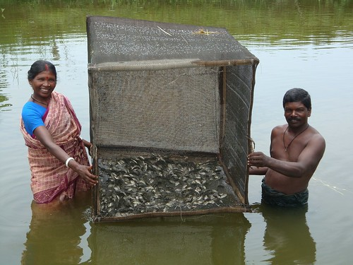 Adivasi farmers with fish in their cage. Photo by Sakil, 2009.