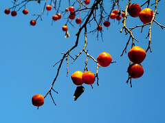 IMGP9956 (oasisframe) Tags: blue autumn trees red fall yellow fruit bluesky korea persimmon southkorea fruitful     persimmontrees koreaimage