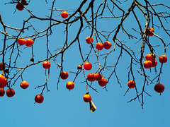 IMGP9947 (oasisframe) Tags: blue autumn trees red fall yellow fruit bluesky korea persimmon southkorea fruitful     persimmontrees koreaimage