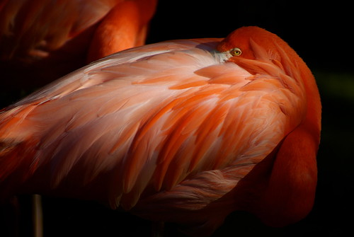 Flamant rose - Zoo de la Palmyre