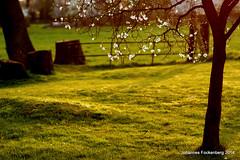 Pflaumenblüte (grafenhans) Tags: sony wiese 55 tamron blüte landschaft slt frühling 2590 grafenwald slt55