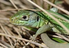 young western green lizard (willjatkins) Tags: greenlizard britishwildlife nonnative nonnativespecies alienspecies lacertabilineata dorsetwildlife britishlizards britishamphibiansandreptiles dorsetreptiles