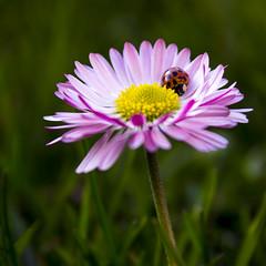 Ladybug (kristofkebuszek) Tags: flower nature spring ladybug natureporn