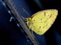 Pyrisitia lisa (carlos mancilla) Tags: insectos butterflies mariposas pyrisitialisa olympussp570uz