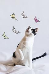 327 (Rafi Moreno) Tags: pet cat canon vintage butterfly soft hipster retro gato oreo mariposas mascotas rafi fondoblanco 365proyect lienzoblanco proyecto365fotos