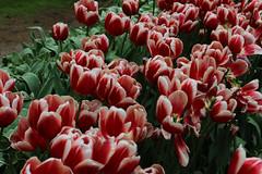 IMG_3020 (seustace2003) Tags: holland nederland an tulip bas pays tulipa niederlande keukenhof tulp tulipan paesi bassi tiilip sitr