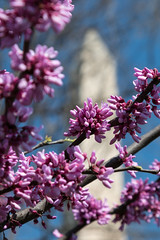 Printemps a Washington (Seb & Jen) Tags: usa flower fleur cherry washington districtofcolumbia unitedstates blossom obelisk cerisier tidalbasin obelisque tatsunis