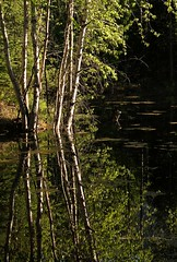 Mirror in May (windyhill623) Tags: light sunlight reflection tree water spring pond poplar britishcolumbia shoreline may shore swamp aspen tremblingaspen eastkootenay stmaryriverroad