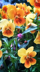 24/05/2016 day 275 : ladybug (shaye.photo@yahoo.fr) Tags: flowers orange paris weather fleurs cloudy ladybug figurine miss meteo coccinelle iphone project365 365days 500px 365photos iphonephoto missmeteo ifttt iphone6s