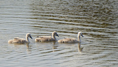 Cygnets - Widewater (31) (Malcolm Bull) Tags: swan cygnet lagoon mute include widewater 20160524widewater0031edited1web
