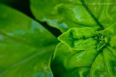 Ocimum basilicum (Laura Sergiampietri) Tags: food plants macro verde green wet monochrome leaves closeup foglie herbs basil piante basilico cosina100mmf35