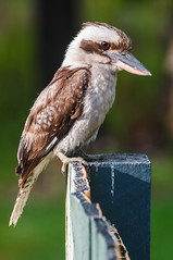 Kookaburra (ArcticZeppelin) Tags: brown bird nature animal laughing australian australia kingfisher predator carnivorous kookaburra birdlife laughingkookaburra