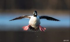 BuffleHead incoming (Corey Hayes) Tags: morning light male bird art nature evening duck flight sharp migration waterfowl natureontario coreyhayes