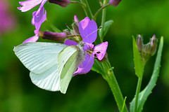 Small White Butterfly ... Artogeia rapae (AndyorDij) Tags: uk england plants leaves gardens insect leaf spring unitedkingdom insects rutland 2016 empingham smallwhite malesmallwhitebutterfly