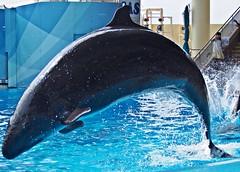 Sara (EmilyOrca) Tags: show water pool mammal aquarium jump marine body surface bow splash cetacean falsekillerwhale