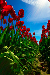 2016 Tulips-331.jpg (rblast) Tags: flowers red sun tulips screen rays