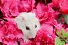 DSC_6600 (迷子昔話) Tags: pet animal hamster 宠物 hammy 动物 仓鼠 奶茶 三线仓鼠