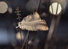 S T U C K  (katjakarumoholm) Tags: macro nature closeup backlight pretty feather