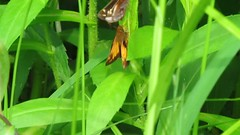 Video:  Zabulon skippers - courting (Vicki's Nature) Tags: two male female yard canon georgia video pair butterflies mating fluttering courting s5 0049 vickisnature zabulonskippers