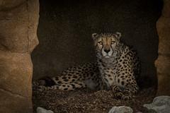 Cheetah eyes (Linda Court) Tags: sleeping wild cats beautiful animal rock walking fur eyes feline soft fluffy whiskers spots snooze wildanimal cheetah cave creature powerful vicious bigcats laying wildlifeheritagefoundation