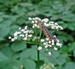 Orange Face (Bricheno) Tags: macro insect scotland fly escocia szkocja renfrew schottland scozia cosse  esccia   bricheno scoia