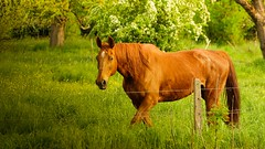 Cheval (Yasmine Hens) Tags: horse nature cheval europa flickr belgium ngc namur hens yasmine wallonie iamflickr flickrunitedaward hensyasmine