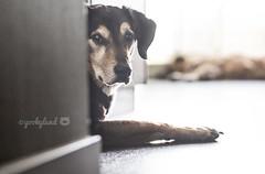 20/52 - waiting patiently...AROUND the corner (yookyland) Tags: dog lowlight jasper 2016 2052 52weeksfordogs