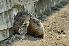 Groundhog Smooches (Barilla Kay) Tags: nature animal outdoors woodchuck groundhog smooch nikond800