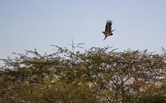 Mr Harrier (Tin-Tin Azure) Tags: world wild india heritage ass little circus unesco safari western marsh sanctuary gujarat harrier kutch rann aeruginosus bajana