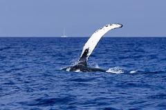 Whale Roll III (rschnaible) Tags: ocean life sea wild usa water animal hawaii us pacific outdoor wildlife maui tropical whale humpback tropics