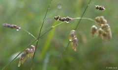 PPP - S24 : ... Et autres plaisirs minuscules (odilecuvit) Tags: nature eau pluie gouttes epis minuscule mouill averse dlicatesse gouttelettes dlicat