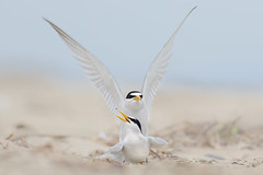 Least Tern Courting/Mating Series 3/10 (bmse) Tags: beach canon mating l ritual f56 least tern salah 400mm wingsinmotion 7d2 hunntington bmse baazizi