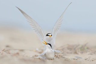 Least Tern Courting/Mating Series 3/10