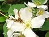 Native Nectar. (CanoeBait) Tags: mockorange philadelphuslewisii minerbee andrenabee