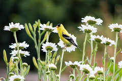 Visitor (jwayne810) Tags: summer flower bird finch daisys marysgarden