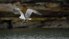 _4SJ8455-r5 (4mpx) Tags: sydney seaeagle australianbird brokenbay nikond4s tamron150600mm