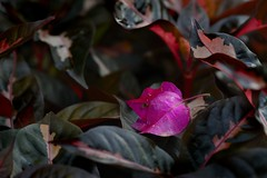 Fall and shine (Ramesh Adkoli) Tags: closeup jayanagar capturenx d800e
