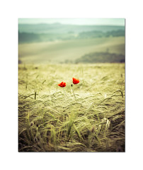 Two (hehaden2) Tags: flowers poppies red wild field crop wheat southdowns sussex treyratcliff